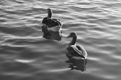 Wasservogel Gans, fila Vogel Schwan, bianco nero del fondo Fotografia Stock Libera da Diritti