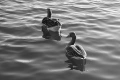 Wasservogel Gans, poziom Vogel Schwan, tło czarny biel Zdjęcie Royalty Free