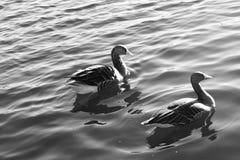 Wasservogel Gans, rangée Vogel Schwan, blanc noir de fond Photographie stock libre de droits