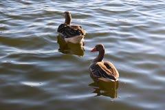 Wasservogel Gans, rangée Vogel Schwan, fond Photos libres de droits