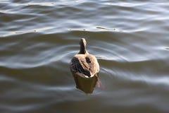 Wasservogel Gans, Reihe Vogel Schwan, Hintergrund lizenzfreies stockbild
