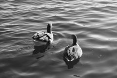 Wasservogel Gans, Reihe Vogel Schwan, schwarzes Weiß des Hintergrundes stockfotografie