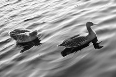 Wasservogel Gans, Rij Vogel Schwan, zwart wit als achtergrond Royalty-vrije Stock Afbeeldingen