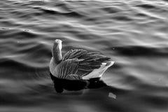 Wasservogel Gans, Rij Vogel Schwan, zwart wit als achtergrond Stock Fotografie