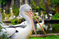 Wasservogel Pelikanvogel Pelecanus conspicilatus Stockbild