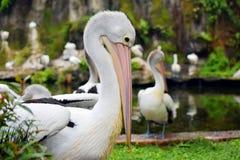 Wasservogel Pelikanvogel Pelecanus conspicilatus Stockbilder