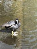 Wasservogelbeobachtung seine Reflexion lizenzfreies stockfoto