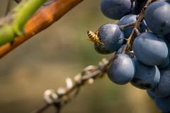 Wast Eat Grape. Head Of The Wasp In Grape. Royalty Free Stock Photography