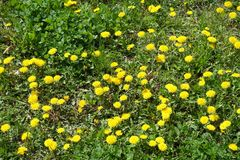 Waste plot of land with dandelions. Waste plot of land with flowering dandelions Royalty Free Stock Photo