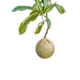 Waste pomelo fruit isolated Royalty Free Stock Photos