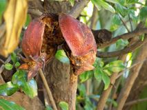 Wasted pomegranate. The husk of a rotten pomegranate hangs on its tree Royalty Free Stock Photo