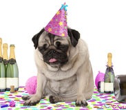 Wasted pug puppy dog wearing party hat, sitting down on confetti, fed up and drunk on champagne, tired of partying, Stock Images
