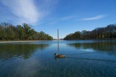 Waszyngtońska kaczka, basen Zdjęcia Royalty Free