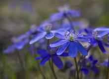 Wat bloeit een liverwort op een houten achtergrond. Stock Foto's