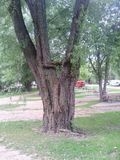 wat deze boom zo uniek maakt Royalty-vrije Stock Foto