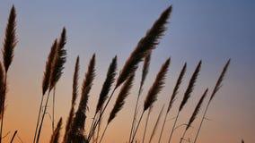Wat gras bloeit het leunen door de wind bij zonsondergang stock videobeelden