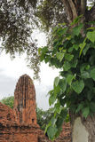 Wat Maha That, Ayutthaya, Thailand. The ruins of Wat Maha That (Temple of the Great Relics), a Buddhist temple in Ayutthaya, Thailand with Po/ Pipal tree in the royalty free stock photos
