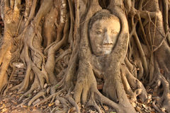 Wat Mahathat. The Head of Buddha, Wat Mahathat, Ayutthaya, Thailand Royalty Free Stock Images