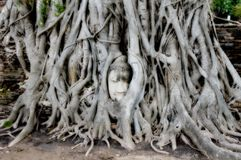 Wat Mahathat is a Buddhist temple in Ayutthaya. WAT MAHATHAT, Buddha`s head trapped in the roots of the tree.Ayutthaya .Thailand stock photography