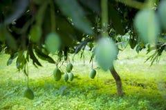 Wat Mango het groeien op boom in gebiedendistrict van Thakurgong, Bangladesh Royalty-vrije Stock Afbeeldingen