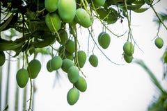 Wat Mango het groeien op boom in gebiedendistrict van Thakurgong, Bangladesh Royalty-vrije Stock Fotografie