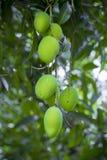 Wat Mango het groeien op boom in gebiedendistrict van Thakurgong, Bangladesh Stock Afbeeldingen