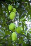 Wat Mango het groeien op boom in gebiedendistrict van Thakurgong, Bangladesh Royalty-vrije Stock Foto's