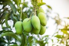 Wat Mango het groeien op boom in gebiedendistrict van Thakurgong, Bangladesh Stock Foto