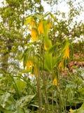 Wat Overweldigende en Mooie Gele en Groene Uvularia-grandiflor Royalty-vrije Stock Foto's
