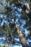 Wat pine-wood stock foto