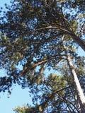 Wat pine-wood stock afbeeldingen