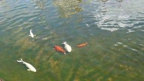 Wat Rong Khun e pesci archivi video