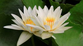 Tow Bloom White Lotus stock photo