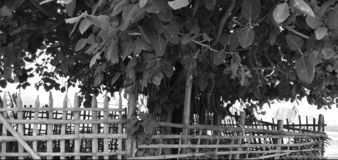 Wat tree in black and white mode. A wat tree from Pusa , India in black and white mode royalty free stock images