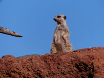 On the Watch. Animal watching the surroundings ontop of a rock Stock Photography
