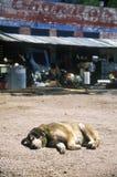 Watch dog sleeping in dirt outside Junk Store, Seligman, AZ Royalty Free Stock Photo