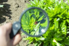 Watch through a magnifying glass for two mating bugs sitting on a plant in the garden