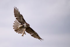 Watch Out. Red-Tailed Hawk swooping down to catch it's prey Stock Photography