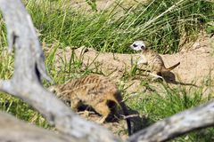 A family of meerkats got out of the hole early in the morning Stock Photos