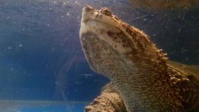 Watch up. Turtle in aquarium in Nikolaev zoo Stock Image