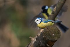 Watch your back or a small blue tit and his rival the great tit. Royalty Free Stock Photo