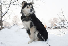 Watchdog. Home dog sitting in the snow Stock Photos