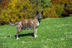 watchdog Fotos de Stock Royalty Free