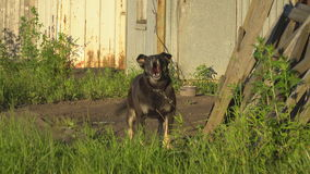 Watchdog  guarding the area. Watchdog on chain guarding the area stock footage