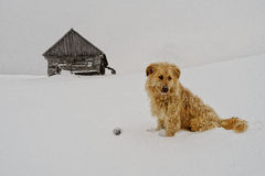 Watchdog in the snow. A watchdog standing near house guards his house  in the wintertime Stock Image