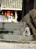 Watchdog. Thisis a Chinese pastoral dog which is guarding the house.This kind dog is popular in rural areas in China.Maybe it is not so cute compared with those stock photo