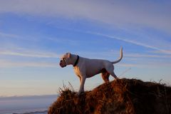 Watchdog. White strong dog stands on a hill Royalty Free Stock Photo