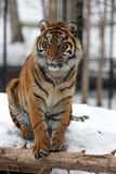The Watcher. Sumatran Tiger watching people walk past his enclosure.  Snowy winter background Royalty Free Stock Photos
