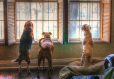 The Watchers. Three dogs are standing and looking out of the windows of a house. There are wooden shutters inside the windows and bars on the outside. Two of the stock photos