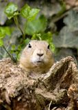 He that watches will win. A little prairiedog is guarding his cave royalty free stock photography